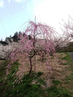 天野農園梅林.JPG